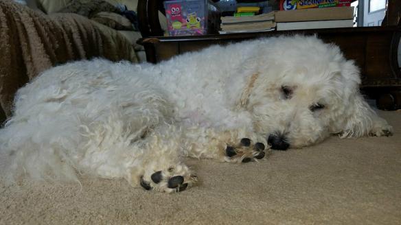 For Adoption Lost Found Komondor Rescue